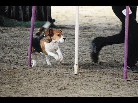 l'agilità di un beagle!