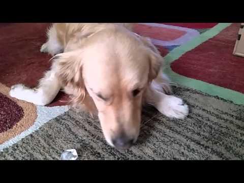 Anteprima Video Cane che ama mangiare cubetti di ghiaccio
