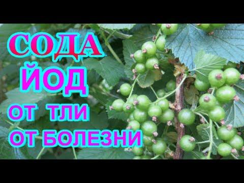 СОДА  КАЛЬЦИНИРОВАННАЯ  + ЙОД = СУПЕР СРЕДСТВО от ТЛИ, серой гнили ,мучнистой росы - всех растений..