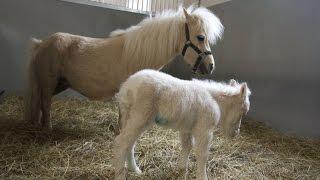 Рождение первого жеребенка миниатюрной породы в MAXIMA VET