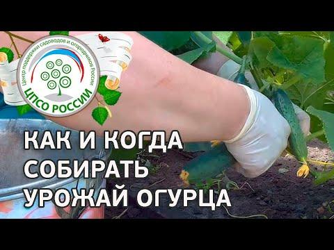 Правила сбора урожая огурца. Выращивание огурцов в теплице.
