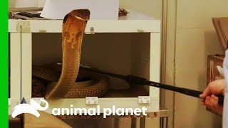 Moving A Huge King Cobra Into His New Exhibit | The Zoo by Animal Planet