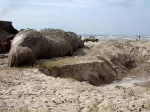 Baleia encosta em Estado de Decompozição N a Barra do Una Peruibe 22/11/2009