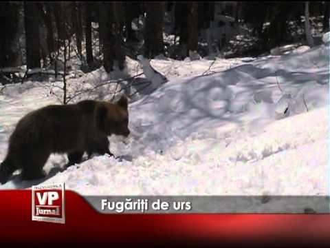 Fugăriţi de urs