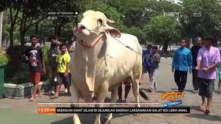 Video Sapi Kurban Presiden Jokowi Tiba di Masjid Agung Surabaya MP3, 3GP, MP4, WEBM, AVI, FLV Agustus 2019