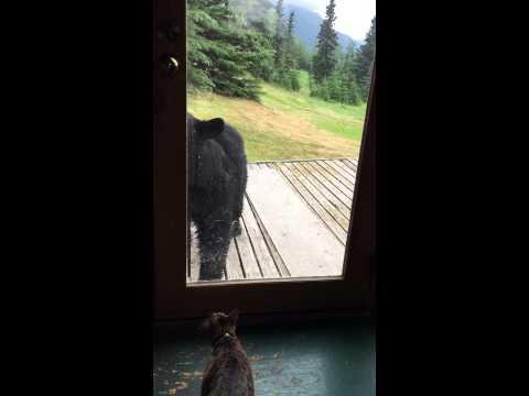 un orso si avvicina alla porta ma il gatto difende il suo territorio!