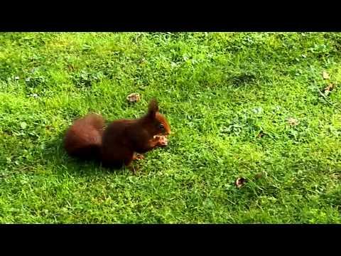 Ardilla del parque Isabel la Católica de Gijón (видео)