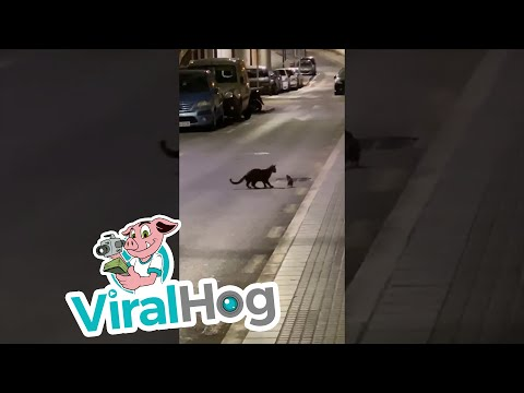 Watch this street fight: Ninja rat vs. cat