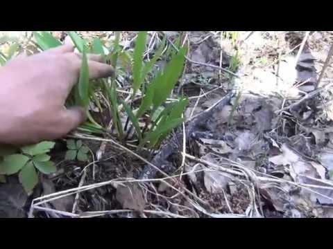 Медведь прогоняет с поля Трех листной черемши с медвежьей таежной грядки +Эксохотник
