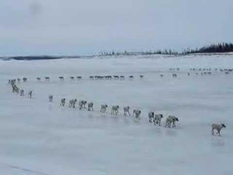 L'impressionnante migration des caribous dans le grand nord du Québec