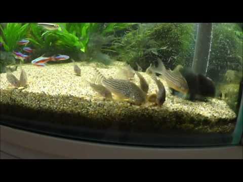 3匹から産卵繁殖で大家族になったコリドラスステルバイ Propagation of a Corydoras