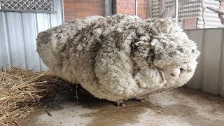 Hikers Saw That This Neglected Sheep Could Barely Stand, So A Shelter Begged For Experts To Save Him by Did You Know Animals?