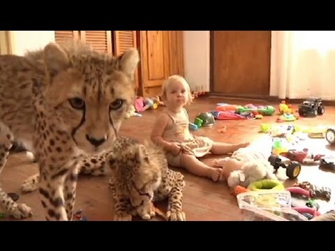 Cheetahs - The documentary