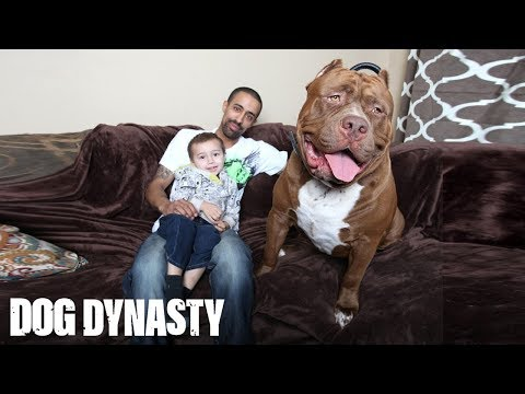 hulk the giant 175lb family pit bull
