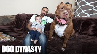 Meet 'Hulk': The Giant 175lb Family Pit Bull SUBSCRIBE: We upload a new incredible video every weekday. Subscribe to our ...