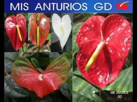 cultivo anturios - SOMOS LOS MEJORES EN EL CULTIVO DE ANTURIOS O ANTHURIUM CON VARIAS VARIEDADES Y COLOROES DE ANTURIO.