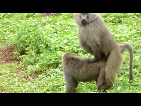 Video baboon sex.MOV download in MP3, 3GP, MP4, WEBM, AVI, FLV January 2017