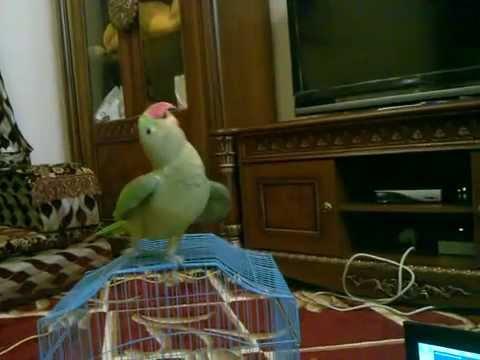 ببغاء يرقص -الدرة نيمو 3.mp4