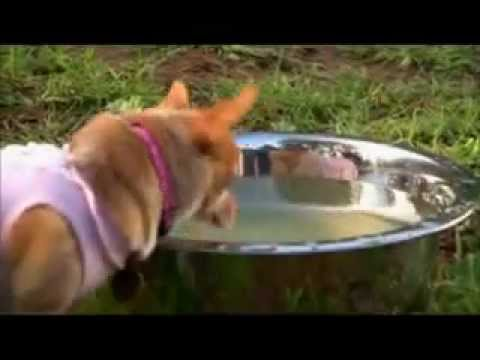 Chihuahua-Boxer Play date! *CUTEST VIDEO EVER*