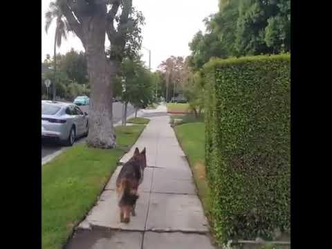 Koira huolestuu kun isäntä menee piiloon