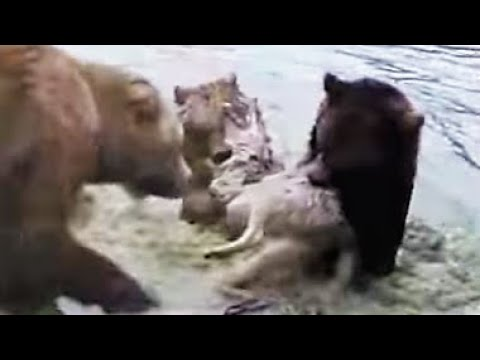 Bears Kill Wolf In Dutch Zoo