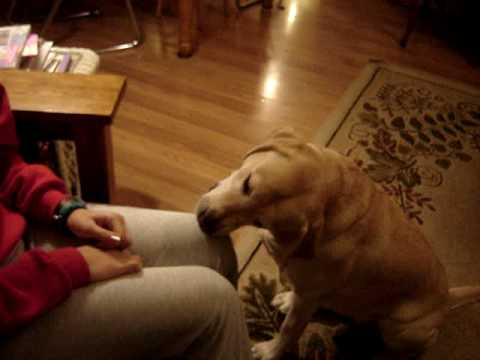Yellow Lab Dog Eats Chocolate