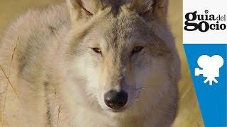 Nonton El   Ltimo Lobo   Wolf Totem     Trailer Castellano Film Subtitle Indonesia Streaming Movie Download