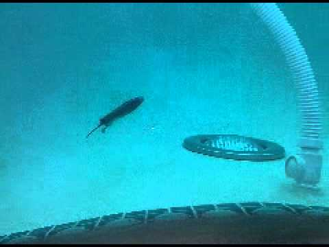 Rats swim underwater
