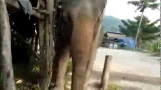 Elephant Riding In Thailand Ko Phangan Island