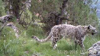 First ever video footage of snow leopards and common leopards using the exact same location. Filmed in Sanjiangyuan Nature Reserve, China.Footage by Shan Shui Conservation Center, Panthera, Snow Leopard Trust, Government of Zadoi County, Qinghai, and SEE Foundation.