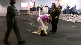Destiny's 3rd Open leg, Highest in Trial & Open Title - Suffolk Obedience Club Trial