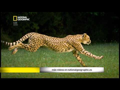 guepardo en dibujo - Videos   Videos relacionados con ...
