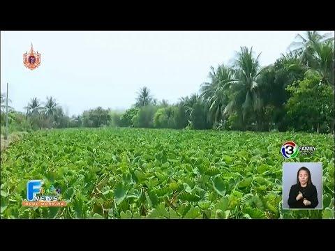 เกษตร ฮอตนิวส์ | โมเดลปลูกเผือกในนาข้าว | 23-03-58