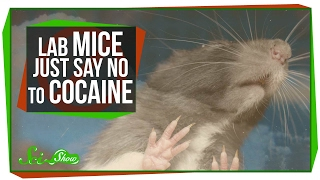 Mice That Resist Cocaine Addiction by  SciShow