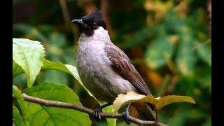 Suara Burung Kutilang Sumpah Keren Nih Bunyinya