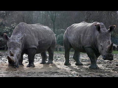 Λαθροκυνηγοί σκότωσαν ρινόκερο σε ζωολογικό κήπο