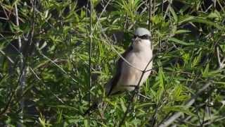 Video Singing Red-backed Shrike    -   Lanius collurio MP3, 3GP, MP4, WEBM, AVI, FLV Agustus 2018