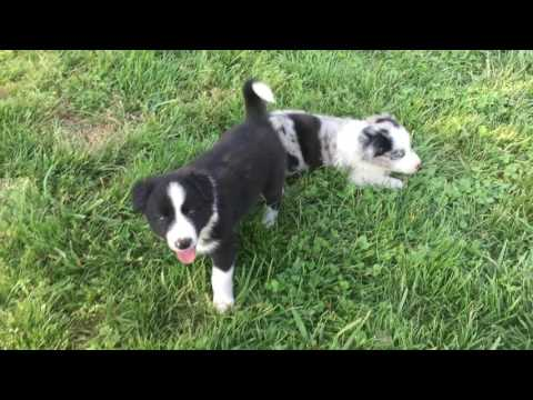 Border Collie Puppy - Pepper