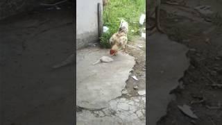Awalnya ayam ini tidak apa-apa saat memakan gula, lihat akibatnya,, hehehe
