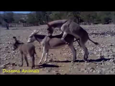 Video The Animal World : Donkey  Mating download in MP3, 3GP, MP4, WEBM, AVI, FLV January 2017
