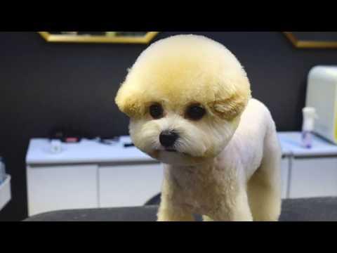 (슈앤트리) 푸들 하이바 스포팅 미용 / pet dog poodle grooming - Thời lượng: 94 giây.