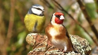 Videos and Sounds for Cats : Garden Birds Extravaganza full download video download mp3 download music download