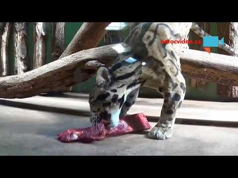 Levhart obláčkový