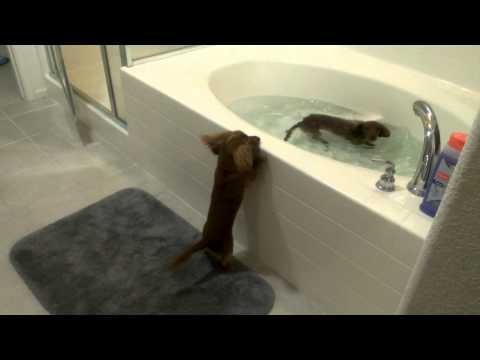 dachshund di corsa verso il bagno