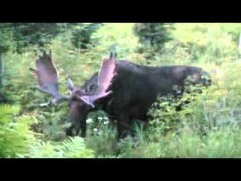 Rencontre avec un gros orignal dans le Parc de la Gaspésie