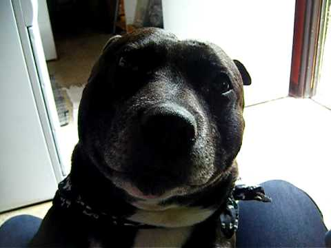 Coolest Talking Staffordshire Bull Terrier / Staffy