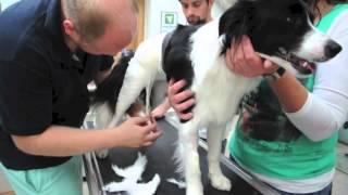 Operace poúrazové luxace kyčle u psa
