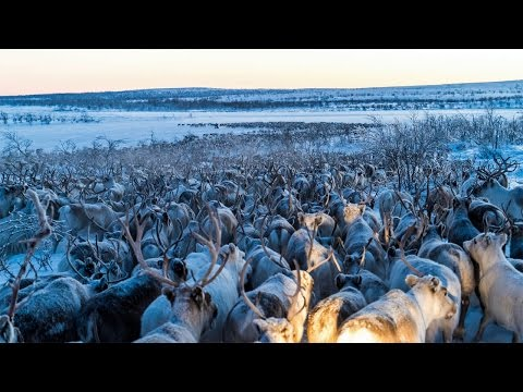 Stunning Reindeer Migration Captured by Drone