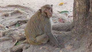 Kumphawapi Thailand  City new picture : The Monkeys of Kumphawapi - Udon Thani - Thailand