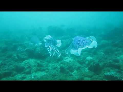 Scuba diving: amazing Cuttlefish in Negombo, Sri Lanka - Taprobane Divers